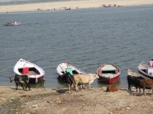 Cows and boats...typical sights in the ghats