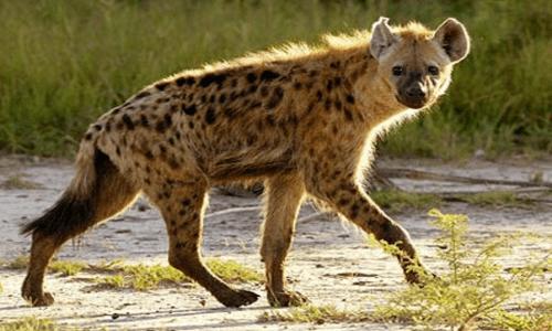 حيوانات مفترسة أشهر وأخطر وأشرس الحيوانات المفترسة معرفة