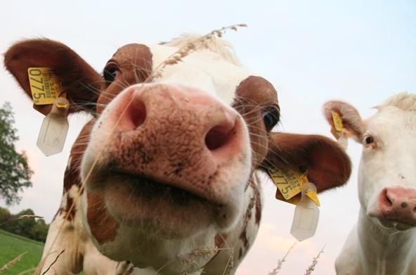 De kopstoot van de koe tegen de camera