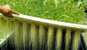 What Are the Key Differences Between Aquaponics and Aeroponics?