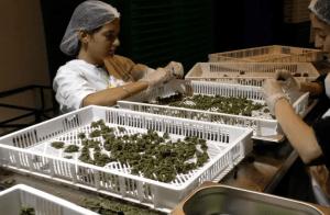 Cannabis industry prepares for Israeli legalization