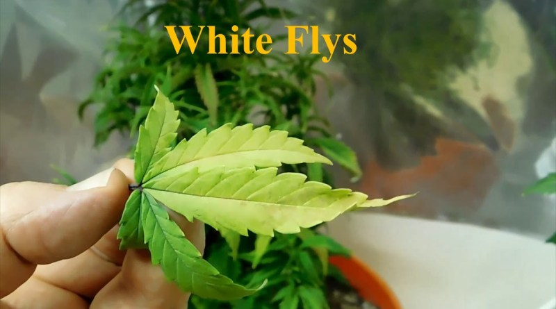 Grow Closet Update  White Fly's December 5, 2019 Growing Marijuana for Fun & Relaxation