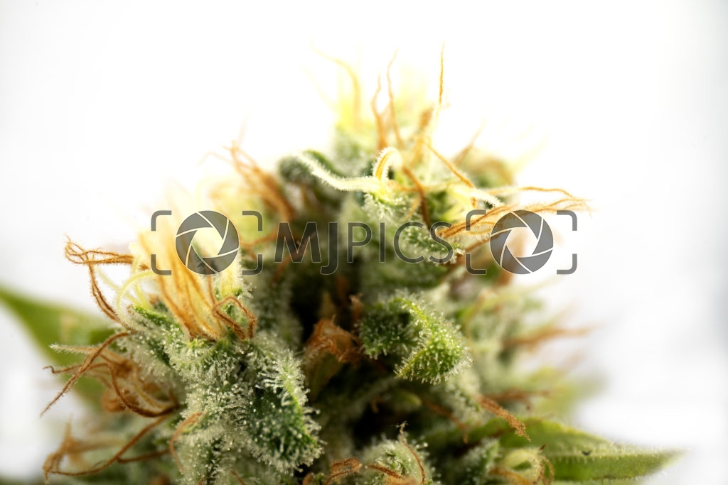 Gorilla Glue #4 10000039 download