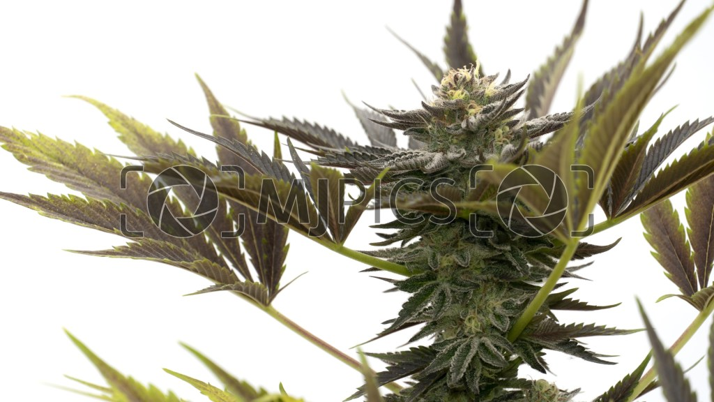 Blueberry Badazz OG 10000407 download