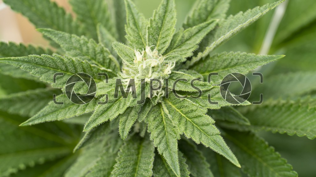 Bruce Banner x White Russian 10000611 download