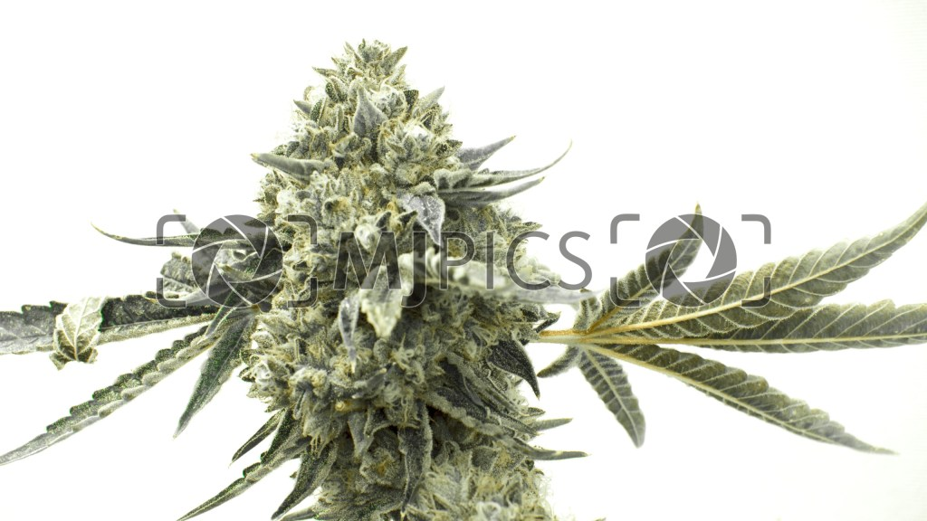 Critical Fast Bud Autoflower 10000722 download