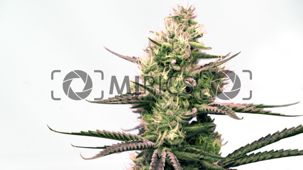Critical x Gorilla Glue Autoflower 10000741 download
