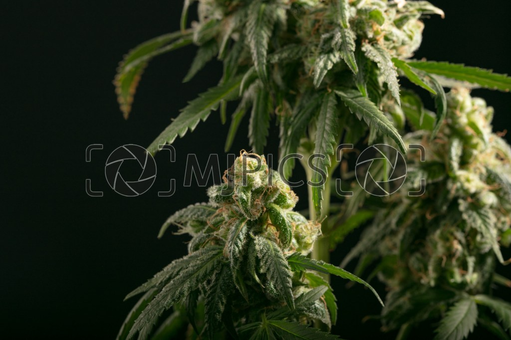 Girl Scout Cookies 10001800