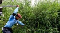 Marijuana Nepal