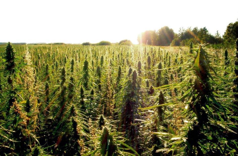 Image result for Colorado Cannabis Crop