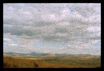 Invasion de criquets