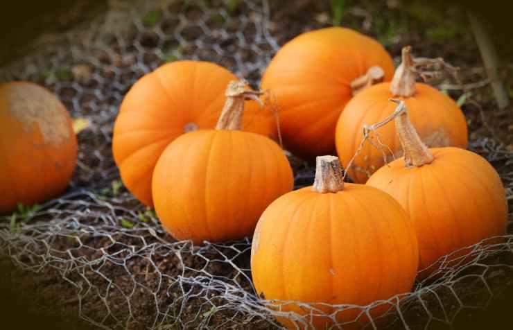 food pasture pumpkin squash
