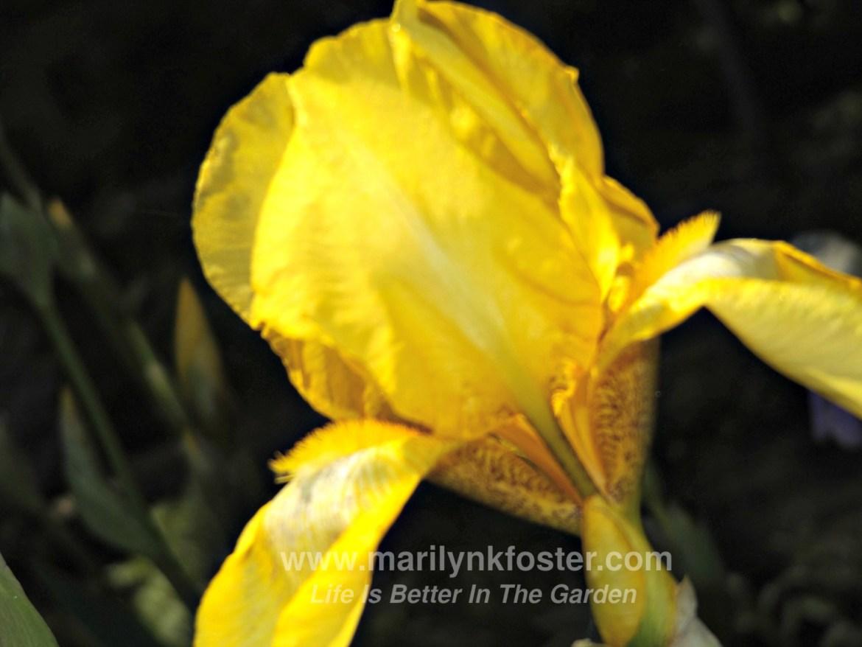 Iris yellow 2