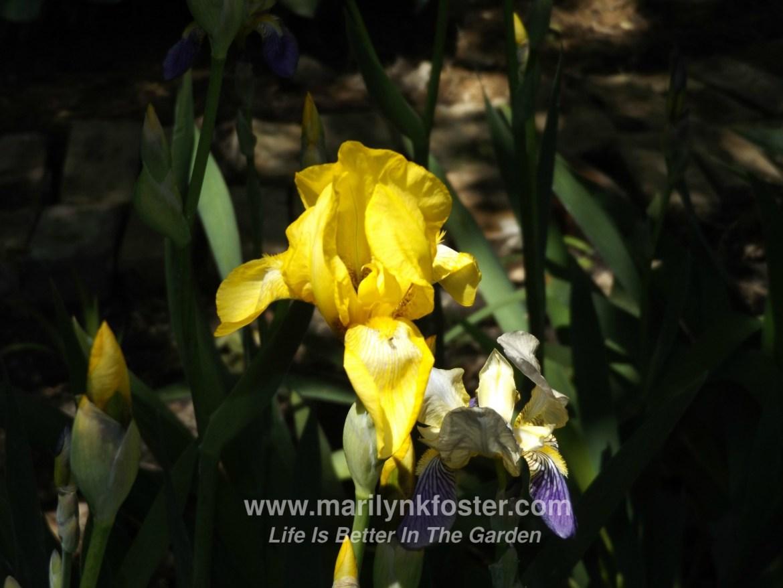 Yellow Iris1