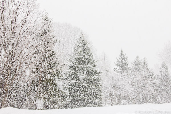 Heavy snow almost obscures evergreens