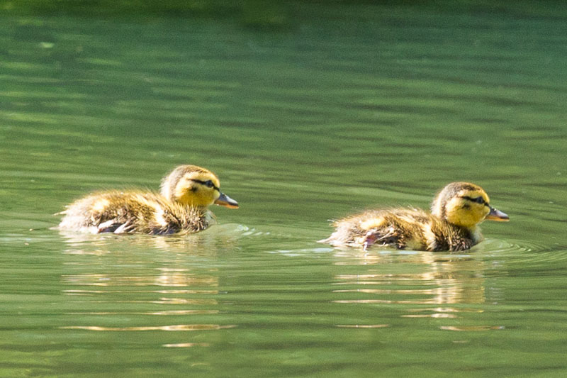 Ducklings and Lilacs