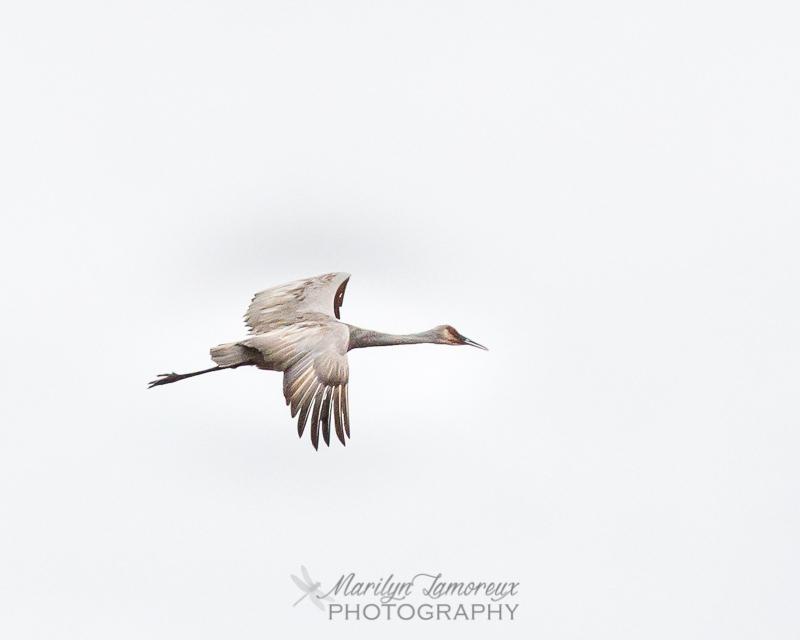 I Love Sandhill Cranes!