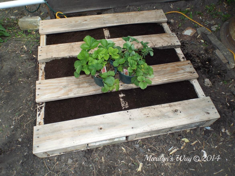 Gardeninginjune strawberry 025