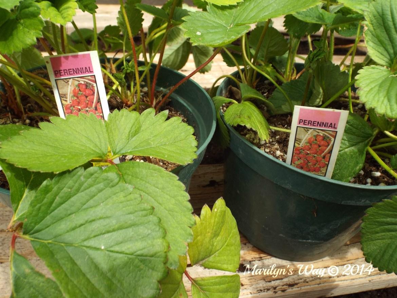 Gardeninginjune strawberry 026