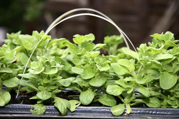 Как посеять петунию на рассаду | Блог для дачника.