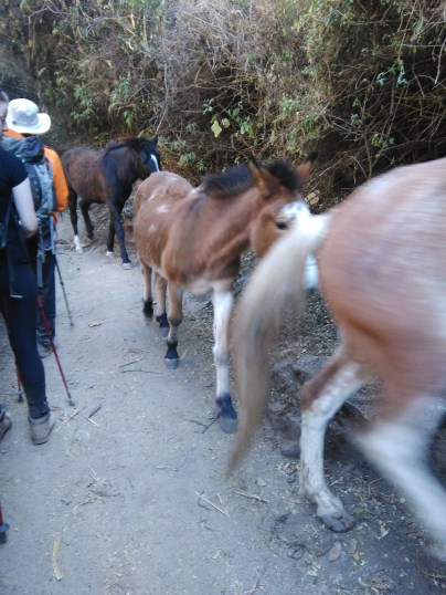 Mules from local communities