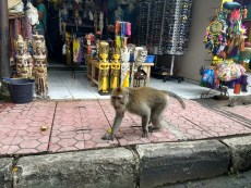 The monkeys even stroll through town