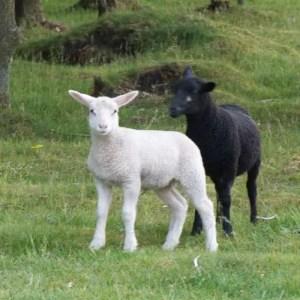 Opskrifter med lam