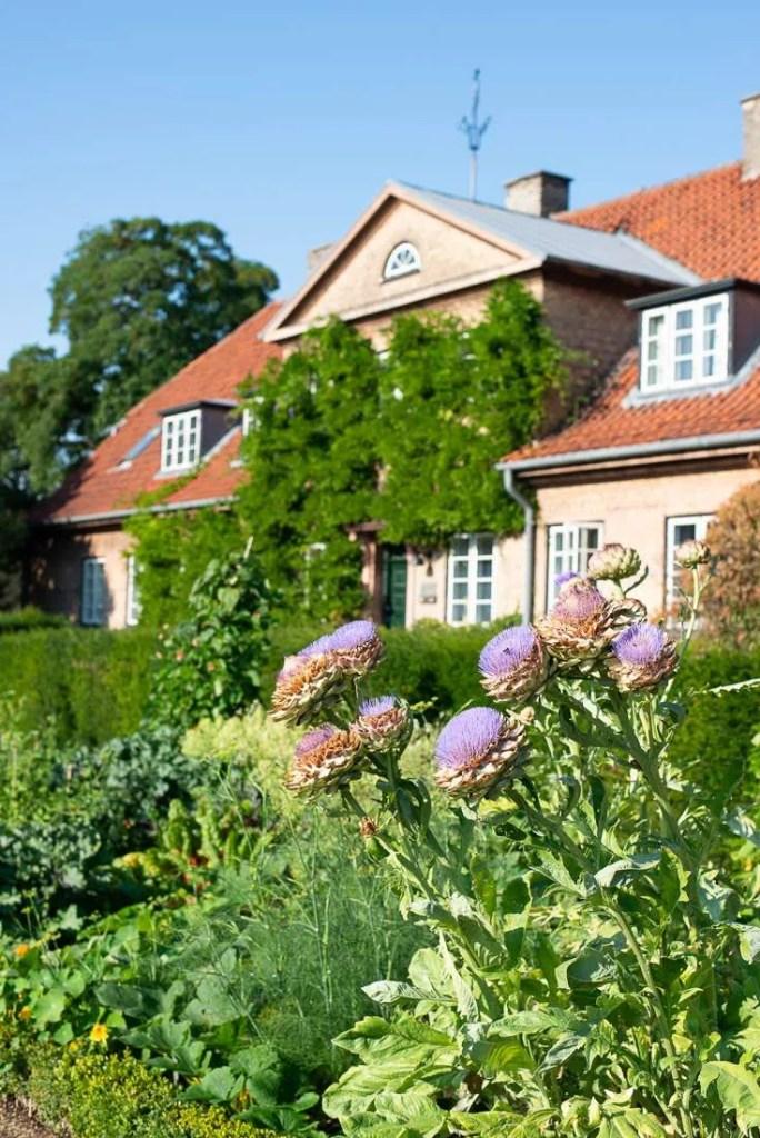 Blomstrende artiskokker i Landbohoejskolens have