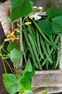 Frisk høstede grønne bønner fra køkkenhaven