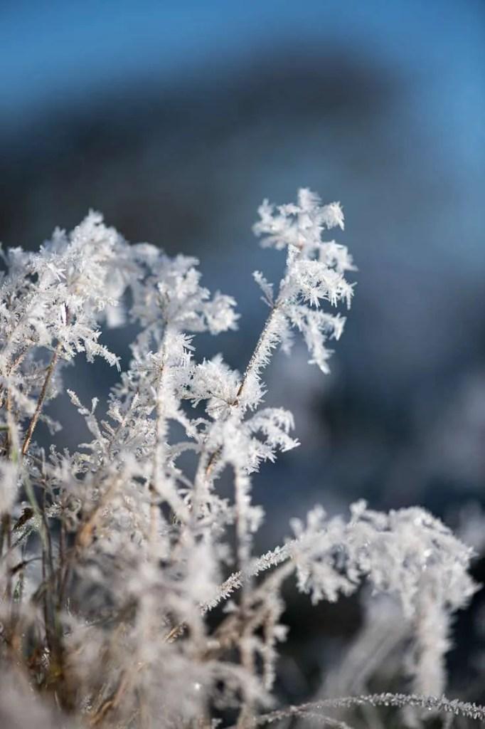 Græs med iskrystaller
