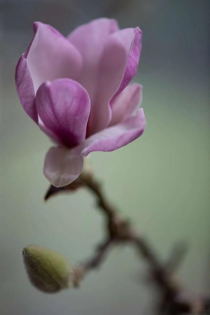Magnolia blomst i januar