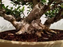 Ficus2