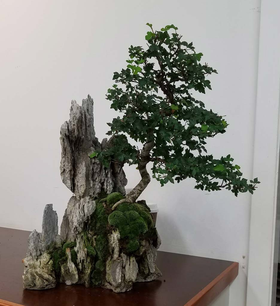 Marin Bonsai Club Wiring Demo Show Tell