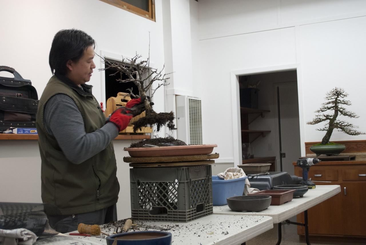 January 2016 – Peter Tea – Marin Bonsai Club