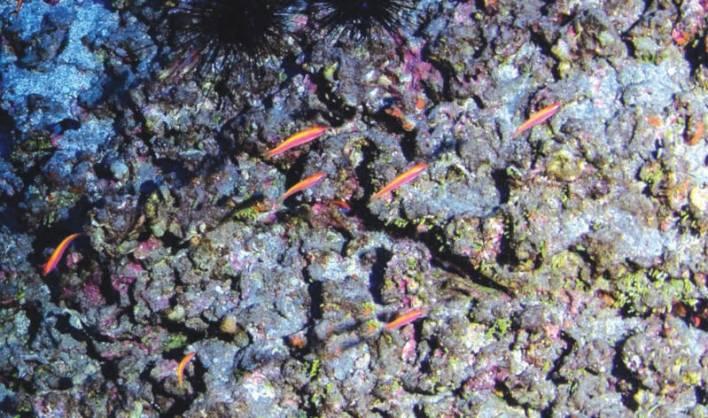 Luzonichthys-kiomeamea-in-its-natural-habitat