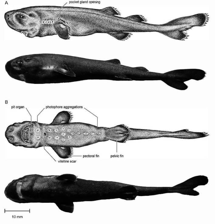 Mollisquama mississippiensis