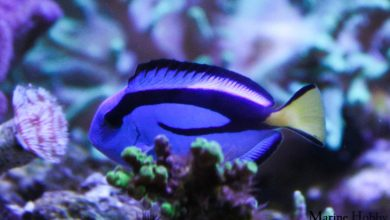 Photo of Paracanthurus hepatus The Pretty Blue Tang or Simply Dory!!!