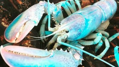 Photo of Cotton Candy Lobster Fisherman Catches Rare Lobster