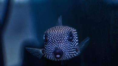 Photo of Notorious and Toxic Spotted Boxfish!!