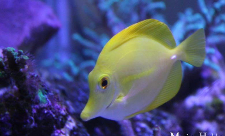 Yellow Tang Reef Fish