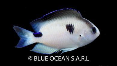 Photo of New Chrysiptera Damselfish by Blue Ocean SARL from Madagascar