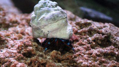 Photo of Blue Leg Hermit Crabs (Calcinus elegans) from Indo-Pacific