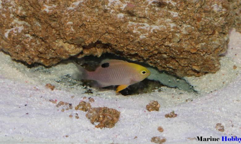 Chrysiptera Talboti - Talbot Damselfish