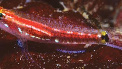 Photo of Eviota gunawanae, Meet the new species of dwarfgoby