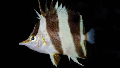 Photo of Prognathodes geminus the New Butterflyfish