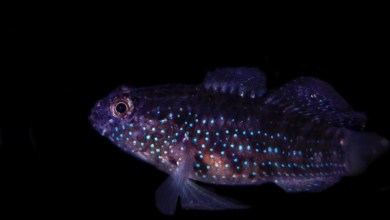 Starry Goby (Asterropteryx semipunctata) Successfully Bred by Biota