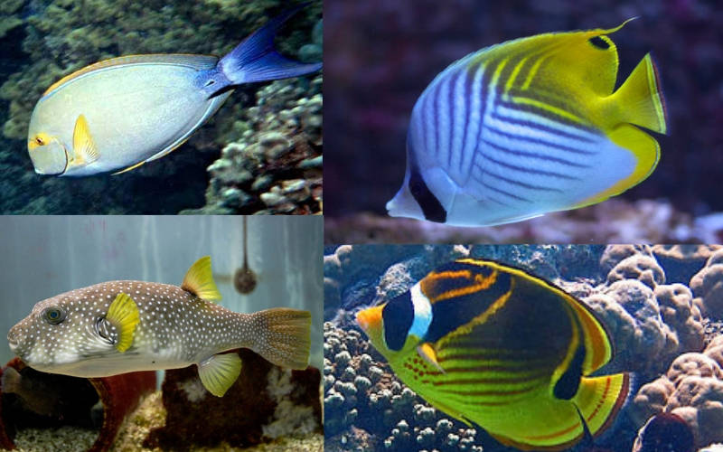 Yellowfin surgeonfish-Threadfin butterflyfish-Raccoon butterflyfish-White spotted puffer-Quarantining Your Fish