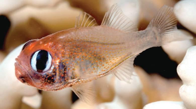Siphamia arnazae