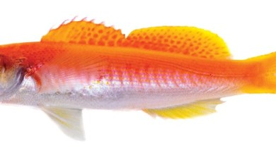 Photo of Luzonichthys kiomeamea, A New Anthias From Chile