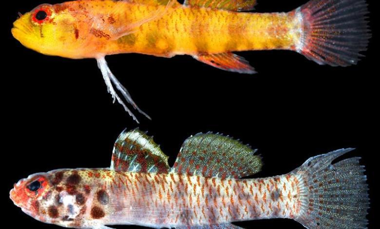 Eviota amamiko and Eviota perspicilla